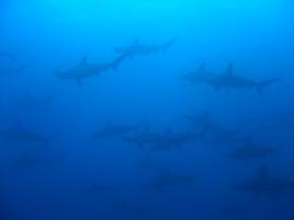 dsc 01558.jpg Le banc de requins marteaux halicornes Sphyrna Lewini  à Wolf island