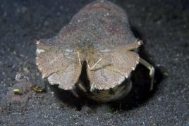 dsc 0515.jpg Galathée Thenus sp.ouvrant un coquillage à Aer parang