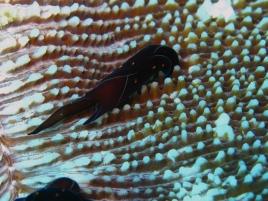 img 3007.jpg Limace de mer Chelinodura punctata à Campbell Shoal, Andaman, Inde