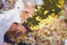 dsc 0515.jpg Nudibranche Notodoris gardineri à Killibob's knob, Father's reef, mer de Bismarck, PNG