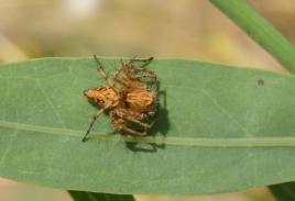 dsc 0270.jpg Petite araignée à la tour de Capitello à Porticcio