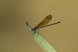 dsc 0475.jpg Calopteryx haemorrhoidalis sur les berges de la Gravona à Bastelicaccia