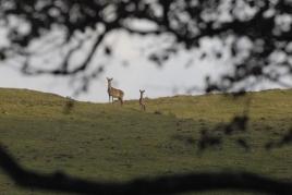 dsc 0053.jpg Biches Cervus elaphus dans la forêt départementale d'Ambel
