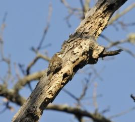 dsc 7497.jpg Grimpereau des bois Certhia macrodactyla à Tavera