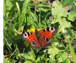 dsc 4872.jpg Papillon Paon du jour (Inachis io) à Ault