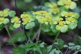 dsc 6531.jpg Chrysosplenium alterniforium dans la réserve naturelle nationale de Narodna en Slovaquie