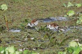 dsc 6563.jpg Juvéniles de jacanas à poitrine dorée dans le Parc National des Oiseaux du Djoudj