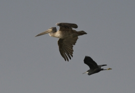 dsc 8332.jpg Pélican gris et aigrette des récifs dans le Parc National du Delta du Saloum