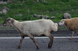 dsc 0476.jpg Moutons de race arménienne en transhumance sur la M2 entre Sarnakunk et Tsghuk
