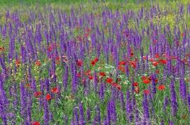 dsc 0161.jpg  Tapis de fleurs sur la M2 vers Areni