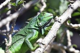 dsc 0986.jpg Pépito, iguane vert pensionnaire de l'hôtel Linda Vista Montana