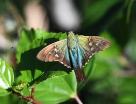 dsc 0497.jpg Papillon à Alajuela