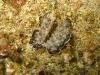 "img 0406.jpg Acanthozoon sp."" orange papillate"" (info Nevile Coleman) à Mandarin fish, Lembeh"