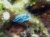 img 3108.jpg Nudibranche Aldisa erwinkoehleri, endémique mer d'Andaman, à South Button, Andaman, Inde