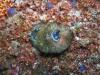 pa 020182.jpg Nudibranche Aphelodoris sp à Pink beach, parc national de Komodo, Indonésie