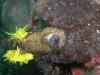 pa 030296.jpg Nudibranche Aphelodoris sp à Cannibal rock, Rinca island, parc national de Komodo, Indonésie
