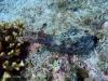 epv 0242.jpg Applysia sp ou lièvre de mer à Heaven's gate, Padre Burgos, Leyte, Philippines.