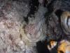 dsc 0072.jpg Nudibranche Asteronopus cespitosus à Serena, Lembeh, Indonésie