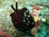 img 0451.jpg  Limaces de mer Berthella martensi à Nudi retreat, Lembeh, Sulawesi