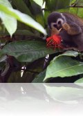 dsc 6930.jpg Singe-écureuil commun ou saïmiri commun Saimiri sciureus dans les jardins de l\'hôtel El Auca à Coca