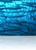 p9130217.jpg Le banc de barracudas à nageoires noires Sphyraena genie à Paradise I, Mabul
