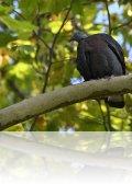 dsc 2968.jpg Pigeon trocaz Colomba trocaz à Palheiro gardens