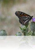 dsc 2741.jpg Papillon monarque Danaus plexippus à Clao das Feiterias