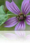 dsc 0229.jpg Abeille lovée dans une fleur de mauve sylvestre sur le chemin de Budicci à Bastelicaccia