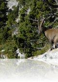 dsc 0113.jpg Bouquetin Capra ibex au pas de Berrièves
