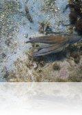 IMG 4408.jpg Poulpe Octopus vulgaris (apnée à la plage du Scudo à Ajaccio)