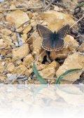 dsc 4582.jpg Bleu nacré espagnol femelle Lysandra hispana dans les Corbières