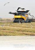 dsc 5724.jpg Moisson dans les rizières d\'Isla Mayor dans l\'embouchure du Guadalquivir