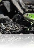 dsc 7956.jpg Iguane delicatissima à l\'Habitation Latouche