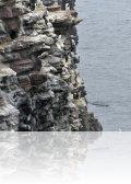 DSC 1383.jpg Colonie de guillemots de Troïl Uria aalge  sur la Fauconnière du Cap Fréhel