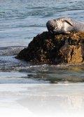DSC 1505.jpg Phoque gris Phoca vitulina aux Sept-Îles