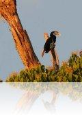 dsc 2206.jpg Calao papou, ou calao de Blyth, Rhyticeros plicatu (bird watching du 23 avril 2011)