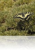 dsc 1181.jpg Papillon machaon dans le canyon d\'Anisclo