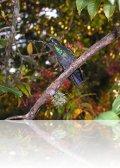 p1270231.jpg  Colibri à gorge pourprée Lampornis calolaemus dans les jardins du Volcano Poas Lodge au Costa Rica