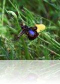 dsc 5885.jpg Orchidée Ophrys speculum dans le parc de Ria Formosa