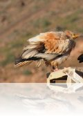 dsc 1805.jpg Couple de vautours percnoptères Neophon percnopterus percnopterus à Vega de Rio Palmas