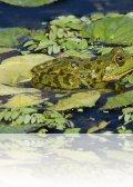 dsc 1173.jpg Grenouille verte Pelophylax kl. esculentus sur le lac Trevina