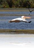 dsc 1128.jpg Pélican blanc Pelecanus onocrotalus sur le lac Bogdapostre