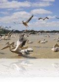 dsc 5376.jpg La colonie de pélicans blancs Pelicanus onocrotalus du Djoudj