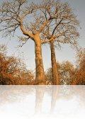 dsc 5160.jpg Forêt de baobabs sur l\'amas coquillier de Diorom Boumag
