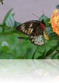 dsc 2477.jpg Papillon Ornithoptera priamus bornemanni femelle au Walindi Plantation Resort