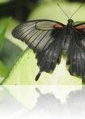 dsc 7814.jpg Papilio memnon femelle au Naturospace d\'Honfleur