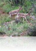 dsc 7656.jpg Chèvres sauvages à Noravank
