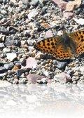 dsc 7345.jpg Papillon Boloria caucasica dans les gorges de Vedi