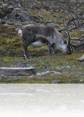 dsc 2959.jpg Renne du Svalbarg Rangifer tarandus platyrhinchus après l\'aéroport de Longyearbyen