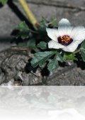 dsc 3204.jpg Hibiscus trionum à Slano kopovo